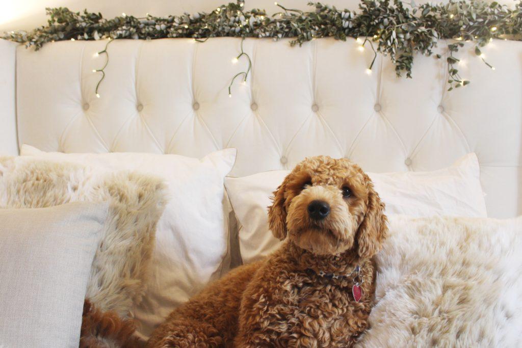 mini goldendoodle, red mini goldendoodle, faux fur pillows, boxwood, tufted headboard, headboard, home decor